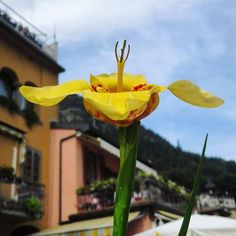 Beautiful flowers on Monte Isola. Whenelsewhere.wordpress.com  #montisola #montisola #lakeiseo #lagoiseo #italy #flower #naturephotography #lakeside #travelgram #instatravel #travelblog #like4like #likeforlike #follow4follow #followforfollow #wanderlust #explore