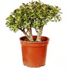 Money tree or crassula large #moneytree #crassula #plants #houseplants #plantdelivery #plantsonline #flowersinpot