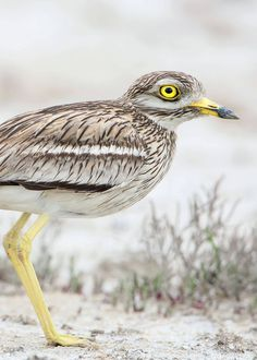 Nocturnal Birds That Burn the Midnight Oil (Owls, Nightjars . and Parrots?) The stone curlew has been nicknamed goggle eyes and thick knees. Not very flattering, but he doesn't seem to mind. Learn all about these birds here! Woodlice, Australian Parrots, Weird Birds, Nocturnal Birds, Long Eared Owl, Barred Owl, Ostriches, Dawn And Dusk, Brown Bird