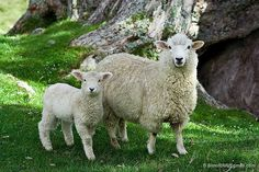 by SimoRRR on flickr #sheep