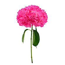 Hydrangea Painted Hot Pink (Choose stem count)