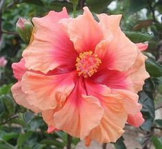 Description Growing hibiscus is an easy way to add a tropical flair to your garden. When you know how to care for hibiscus plants, you will be rewarded with many years of lovely flowers. Let's look at some tips on how to care for hibiscus. Growing Hibiscus in Containers Many people