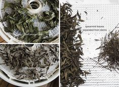 The past 2 years, I've had disastrous results dehydrating mint. Learn the changes I made to rectify the problem Drying Mint Leaves, Dehydrated Food, Dehydrator Recipes, Mistakes, Peppermint, Herbs, Canning, How To Make, Enchanted