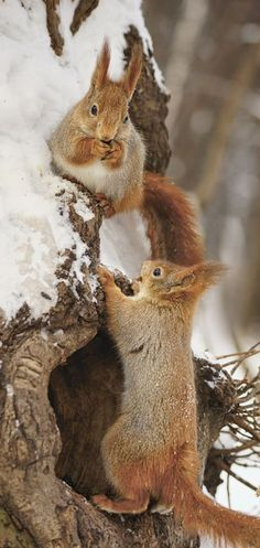 Winter squirrels.~ :hearts: