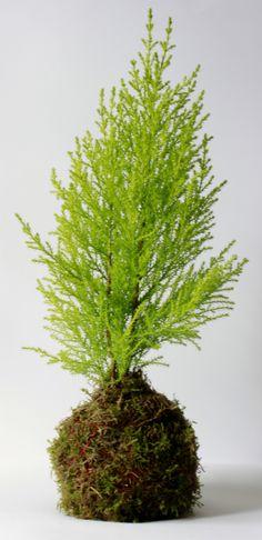 Una Kokedama de Cupressus especial para sustituir al árbol de navidad si no quieres que te ocupe mucho en casa. #kokedamas #leavesdesign