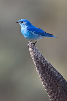 """The bluebird carries the sky on his back."" -- Henry David Thoreau"