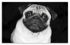 Pug In Black And White wallpaper
