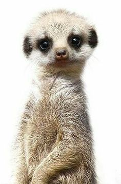 What do you look so cute - animal pictures, baby animals - # look # cute # cute # animal picture . - What do you look so cute – animal pictures, baby animals – - Cute Creatures, Beautiful Creatures, Animals Beautiful, Cute Baby Animals, Animals And Pets, Funny Animals, Baby Wild Animals, Dog Wallpaper, Tier Fotos