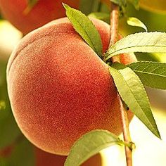 Yes, you can grow peaches in MN. You may not get as many as you want but it's still worth the novelty!