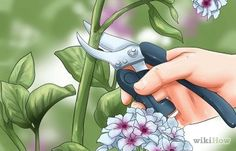 4 Ways to Grow Hydrangea from Cuttings - wikiHow