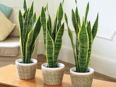 Sansevieria trifasciata is also commonly called the snake plant or the mother in law's tongue. It is a very tolerant indoor plant that it is easy to care Sansevieria Trifasciata, Sansevieria Plant, Plantas Indoor, Mother In Law Tongue, Best Indoor Plants, Snake Plant, Plant Needs, Planting Seeds, Cactus Plants