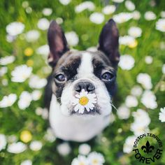 "1,219 Likes, 16 Comments - Boston Terrier Features (@bostonterriersforever) on Instagram: ""Kiss me. I put a flower on my lips so my breath smells good . Photo by trinity jackson.approved Feature…"""
