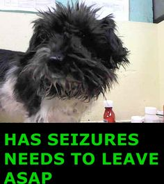 SUPER URGENT 3/25/14 Brooklyn Center BROOKLYN - A1031158 *** SEIZURES / NEEDS TO LEAVE ASAP *** SPAYED FEMALE, BLACK / WHITE, SHIH TZU MIX, 2 yrs SEIZED - EVALUATE, HOLD RELEASED Reason OWN ARREST Intake condition EXAM REQ Intake Date 03/24/2015, https://www.facebook.com/Urgentdeathrowdogs/photos/pb.152876678058553.-2207520000.1427539416./983034735042739/?type=3&theater