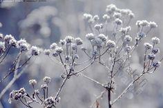Talventörröttäjät - huurteiset kuuraiset jäiset jäätyneet kuolleet talventörröttäjät kuivuneet kasvit kukinnot kuura huurre jääkiteet jääkide kiteet kide kylmyys kylmä pakkanen sinertävä alkutalven luonto tunnelma pakkaspäivä sininen valkoinen jäätynyt jäinen kuivunut kasvi talventörröttäjä kukinto alkutalvi lokakuu