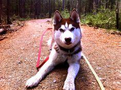 My beautiful siberian husky pup loving the Maine woods!