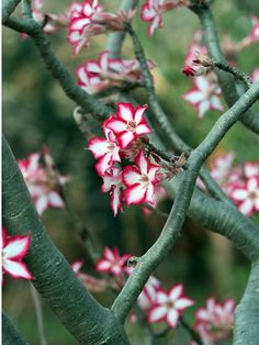 The impala lily is native to southern Africa and a common sight in the Kruger National Park's rest camps from July through to September, where it adds colour to the dry winter bush. Gardenias, Tropical Flowers, Tropical Plants, South African Flowers, Indoor Flowering Plants, Flowering Bushes, Family Tree Poster, African Plants, Tree Seeds