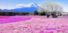 Parque Takinocho Shibazakura – Japón  Los 10 lugares más coloridos del planeta