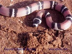 tangerine honduran milk snake - Bing Images