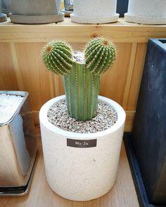 안녕하세요 #춘리 라고해요 새로 입양햐 대봉룡! 너 쫌 귀엽다?ㅋㅋ  #선인장 #대봉룡 #선인장스타그램 #식물스타그램 #반려식물 #cactus #식물인테리어 #인테리어소품 #모자다육 by sunnail55