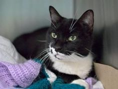 Safe - 2-7-2017 Brooklyn  Rescue: Feline Rescue of SI Please honor your pledges: http://felinerescueofstatenisland.org/donation/12/15/16*** Sweet and seeking attention.