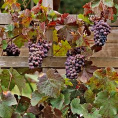 How to Grow Grapes.