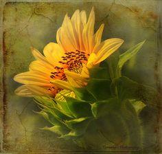 Sunflower - love this photo