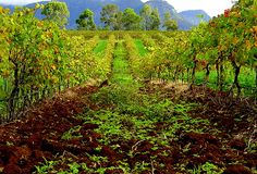 Hunter Valley - Vineyards / Australia  by F. Delvental