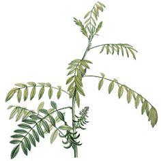 Herbář — Česká televize — Herbář — Česká televize Plant Leaves, Plants, Plant, Planets