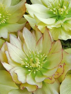 Helleborus 'Golden Lotus' (Winter Jewels)