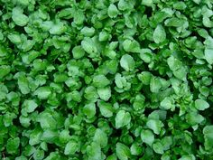 50 Edible Wild Plants You Can Forage for a Free Meal A cluster of watercress Perennial Vegetables, Fruits And Vegetables, Watercress Growing, Organic Gardening, Gardening Tips, Agriculture, Edible Wild Plants, Paludarium, Grow Your Own Food