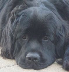My Newfoundland dog, Lucy!  Best Dog Ever!