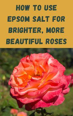 Rose Plant Care, Rose Care, Gardening For Beginners, Gardening Tips, Container Gardening, Epsom Salt For Roses, Growing Roses, Growing Plants, Growing Veggies