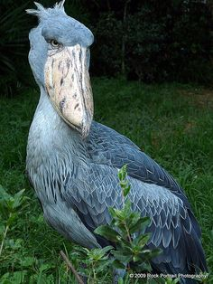 The Shoebill Stork is one of the worlds more endangered species and is actually considered one of the worlds ugliest animals next to the Wildebeest. People have clearly never delved deeply enough into the species of the sea to think this bird one of the u Ugly Animals, Unusual Animals, Rare Animals, Animals And Pets, Ugliest Animals, Animals Of The World, Beautiful Birds, Animals Beautiful, Shoebill Stork