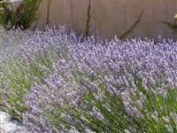 Provence Lavender for Sale Online – Greener Earth Nursery Dried Flower Arrangements, Dried Flowers, Home Garden Plants, Home And Garden, Provence Lavender, 1 Live, Lavandula, Hardy Perennials, French Countryside