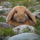 Funny Cute Rabbits - Funny Cute Rabbit Picture 023 (FunnyPica.com)    'I'm a pebble!!! I'm a pebble!!!'