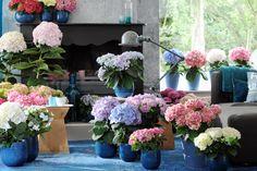 Lots of Hydrangeas #plants