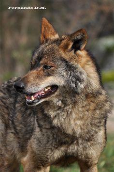 Lobo Iberico (Canis lupus signatus)                                                                                                                                                     More