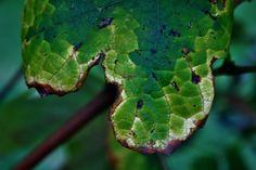 Dry Edge On Vine Leaf