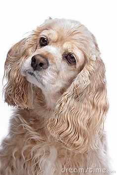 She looks so much like my baby Trigger. American Cocker Spaniel