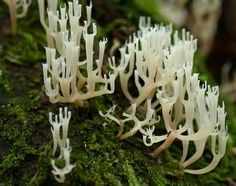 Coral Fungus