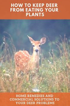 Deer are a constant problem for gardeners. They eat precious plants, and trample the ground. Click here to learn how to keep deer from eating your plants!
