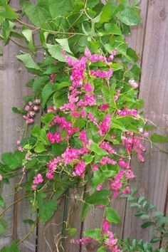 climbing vine - coral vine? I think my great aunt called this Queen's Wreath....