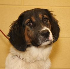 No longer available - Louise -  Border Collie/Bernese Mountain Dog mix - Clarksville, TN. 9 months old