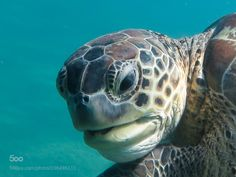 lifeunderthewaves:  Green Turtle by souslevent971 Green turtles in the Cousteau Marine Park in Guadeloupe