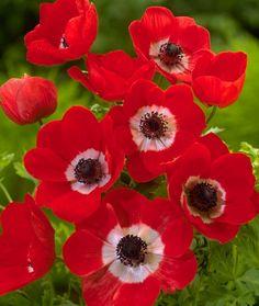 ~Anemone coronaria 'Hollandia'