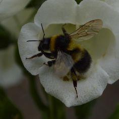 bee on a foxglove