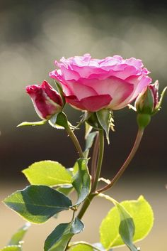Rose...pretty & delicate...just like a woman...but beware of the thorns lest you get pricked ~ Zeta M Mood | Photo by cate on flickr