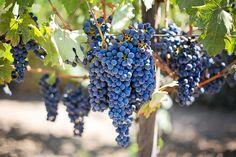 Purple Grapes, Vineyard, Napa Valley, Napa Vineyard