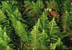 Kammossa Lava, Orchids, Herbs, World, Plants, Mountain, Herb, The World, Plant