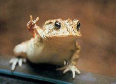 Funny Frogs, Cute Frogs, Cute Reptiles, Reptiles And Amphibians, Cute Little Animals, Cute Funny Animals, Funniest Animals, Frog And Toad, Frog Frog